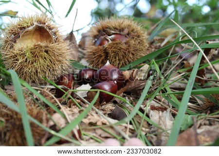 Chestnut shells undergrowth