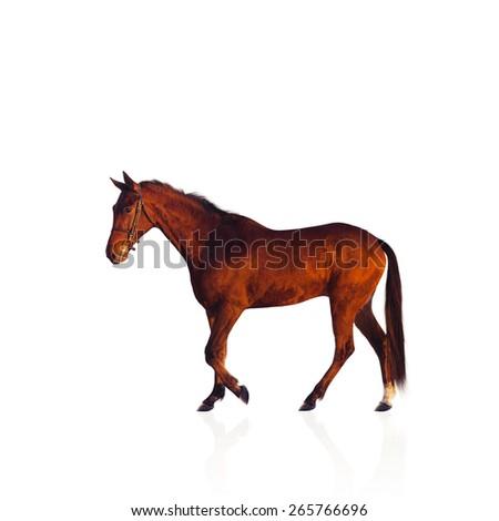 Chestnut stallion horse isolated on white.  - stock photo