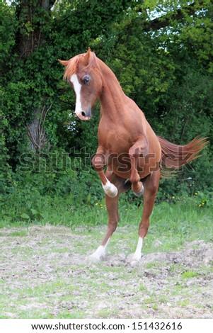Chestnut stallion playing - stock photo