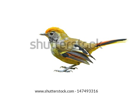 Chestnut-tailed Siva bird on white background