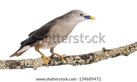 Chestnut-tailed Starling perched on a branch - Sturnia malabarica - stock photo
