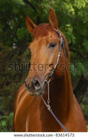 Chestnut Trakehner stallion - stock photo