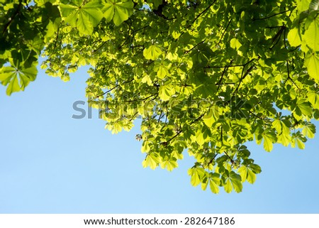 Chestnut tree and blue sky / Chestnut tree