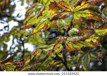 Chestnut tree and leaves in autumn - stock photo
