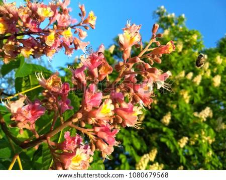 Chestnut tree pink blossomed flowers chestnut stock photo royalty chestnut tree pink blossomed flowers of a chestnut tree mightylinksfo