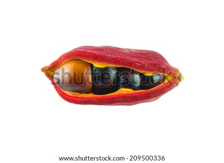 chestnut white background - stock photo
