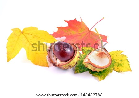 Chestnut with autumn leafs on white background