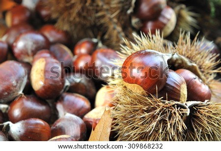 chestnuts in the shell on the ground in forest  - stock photo