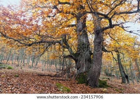 Chestnuts in the Tiemblo in the Iruelas Valley. Sierra de Gredos. Avila. Castilla Leon. Spain. Europe. - stock photo