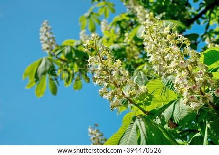 chestnuts, Kiev, Ukraine, Ukrainian woman blossom, spring, sky, flowers, leaves, white, green, blue - stock photo
