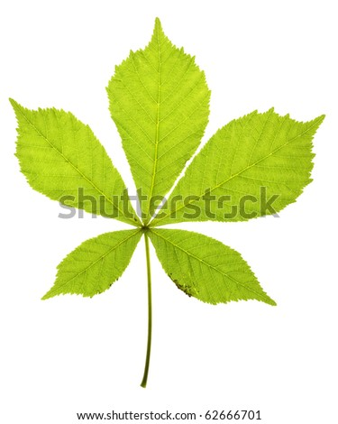 chestnuts leaf on isolated - stock photo