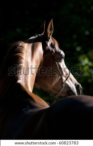 chetsnut arabian horse portrait in dark - stock photo