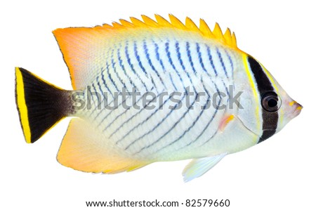 Chevron Butterflyfish isolated in white background. Chaetodon trifascialis.