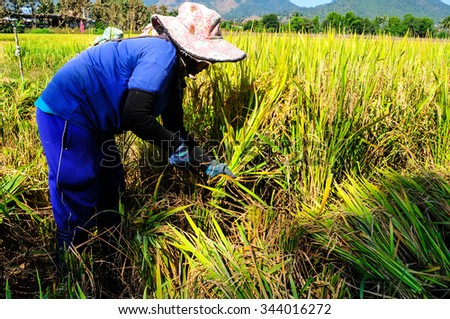 CHIANG MAI, THAILAND-NOV 22: Farmers harvest rice in the farm on November 22,2015.Chiang Mai is highland province in Thailand. - stock photo