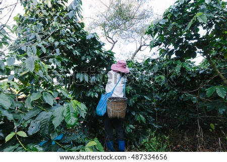 Chiang Rai, Thailand - November 18,2015: Women from Thailand picking red coffee seed on coffee plantation at Doi Chang , Chiang Rai, Thailand.