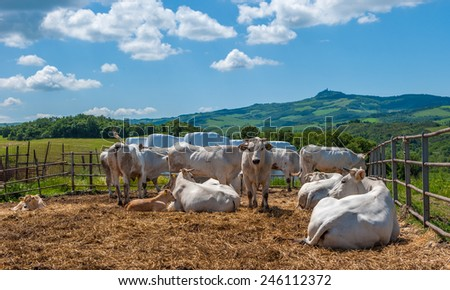 Chianina cows in Tuscany, providers of Florentine steak - stock photo