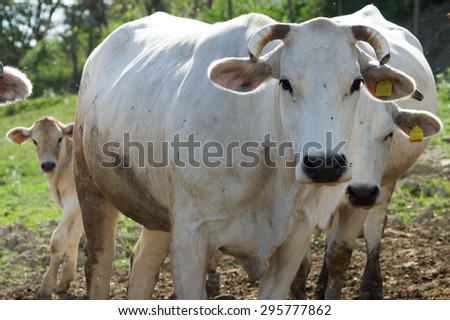Chianina, italian white cow. Tuscany - stock photo
