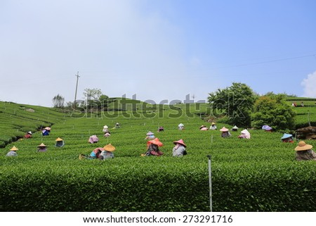 CHIAYI,TAIWAN;APRIL 11: worker collect the new tea leaves in tea field on Alishan range in Chiayi on 11 April 2015. Tea in Alishan is famous in asia, april is the season of collecting tea leaf.