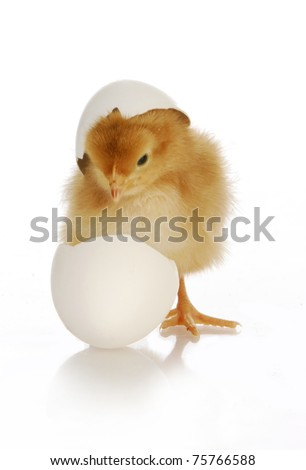 chick hatching - cute newborn chick coming out of the egg on white background - stock photo