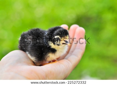 Chick in a hand - stock photo