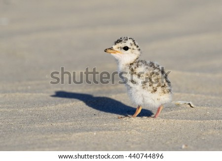 Chick of the least tern (Sternula antillarum) at the ocean beach, Galveston, Texas, USA. - stock photo