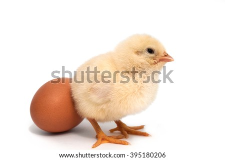 chick standing near to egg. isolated on white background