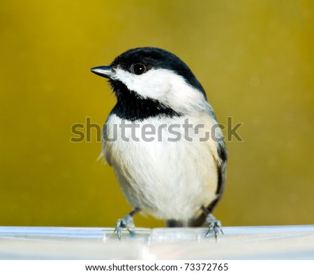 Chickadee perching on the edge of a plastic feeding tray and showing its profile - stock photo