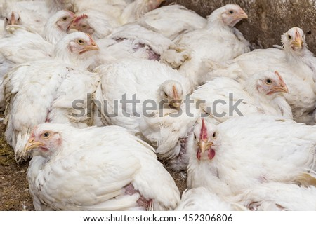 Chicken broilers - stock photo