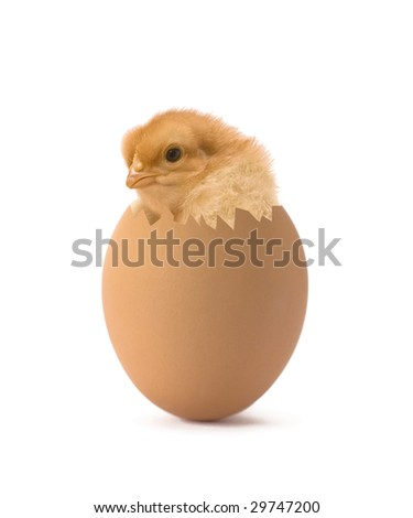 chicken coming out of a brown egg - stock photo
