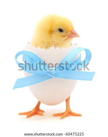 chicken coming out of a white egg - stock photo