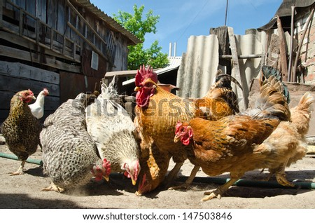 chicken eating on a farm - stock photo