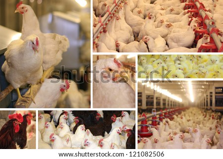 Chicken farm - stock photo