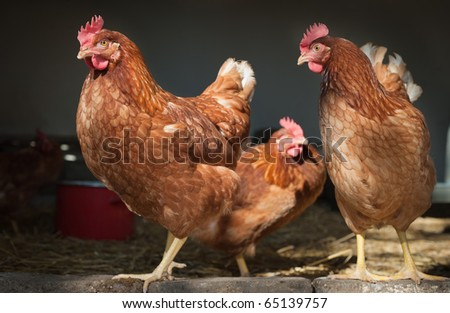 chicken farm - stock photo