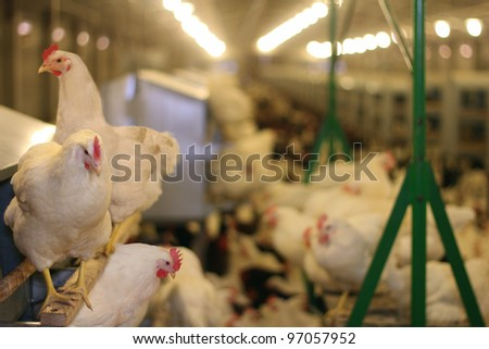 Chicken Farm, Poultry - stock photo