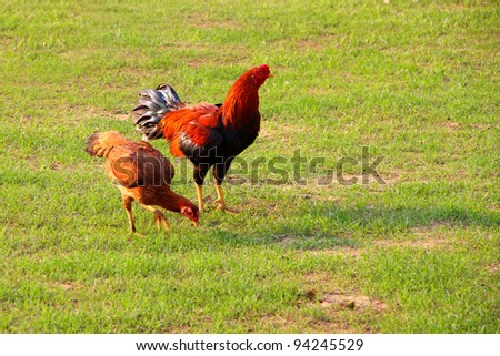 chicken, hen and cock, on green field in evening.