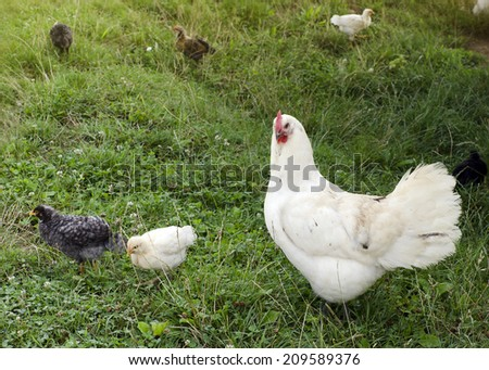 Chicken hen with small chicks on green grass at free range farm - stock photo