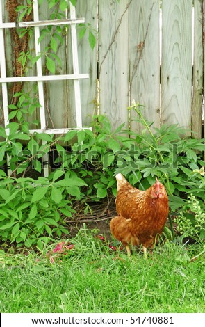 Chicken in the garden - stock photo