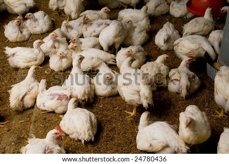 Chicken in the interior of the poultry farm - stock photo