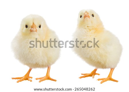 Chicken isolated on white background - stock photo