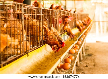 Chicken lay eggs in the chicken farm . - stock photo