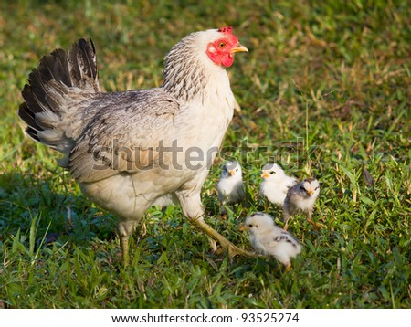 chicken mom and chick in green grass - stock photo