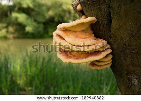 Chicken Mushroom (Laetiporus Sulphureus) in it's natural habitat - stock photo