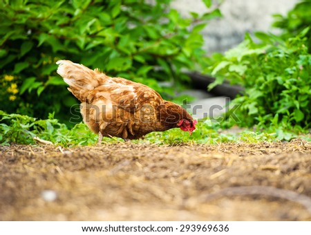 chicken on a farm - stock photo