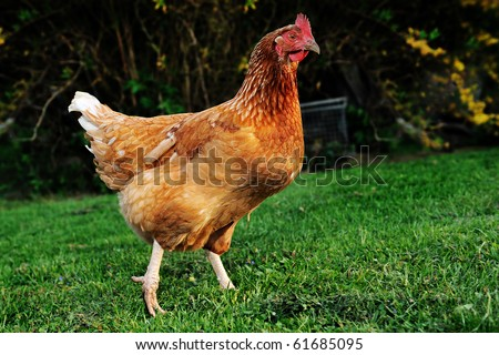 chicken on grass - stock photo
