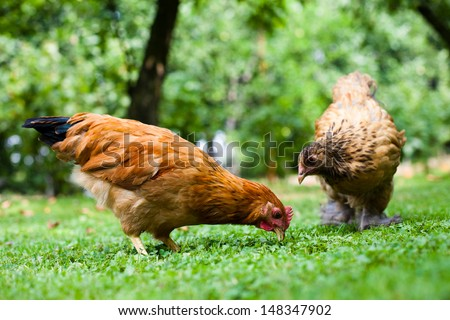 chicken on the grass - stock photo