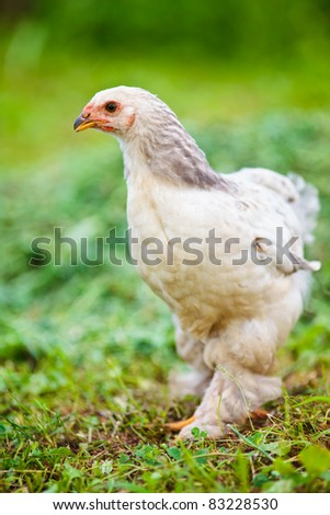 Chicken outdoor on a green meadow