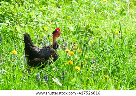 Chicken outside in the meadow  - stock photo