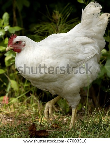 chicken that is white walking next to some brush