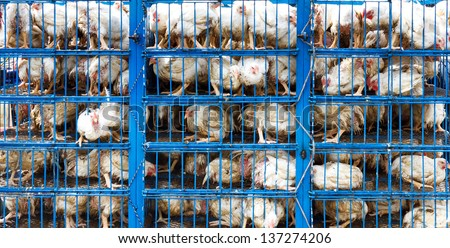 Chicken transport in cramped cage on a pickup truck in Pakistan.