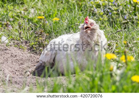 Chicken with open beak cleans feathers in the ash - stock photo